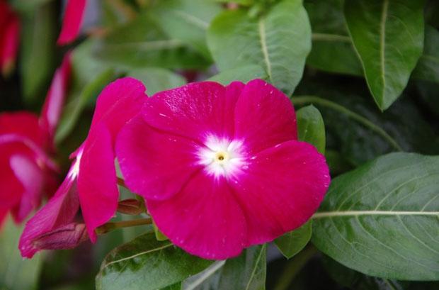 Barwinek różówaty